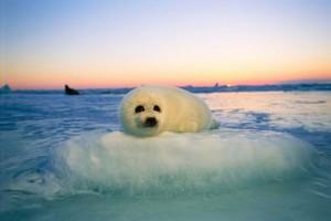 seal_pups